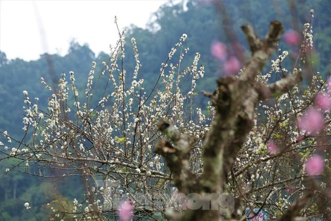 Ngắm hoa đào khoe sắc trên 'cổng trời' mù sương ảnh 8