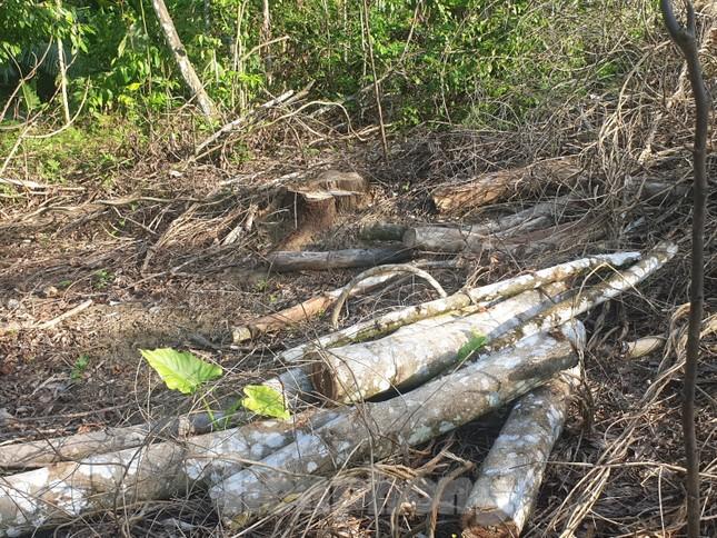 Cận cảnh khu rừng phòng hộ bị bán trái phép ảnh 6
