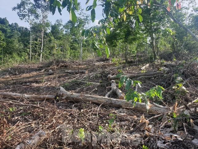 Cận cảnh khu rừng phòng hộ bị bán trái phép ảnh 8