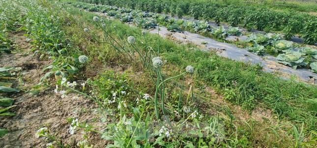 Rau ế ẩm, nông dân ngấn lệ đào bỏ làm thức ăn cho gia súc ảnh 13