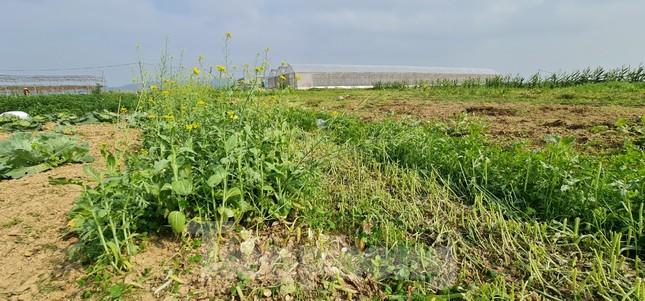 Rau ế ẩm, nông dân ngấn lệ đào bỏ làm thức ăn cho gia súc ảnh 12