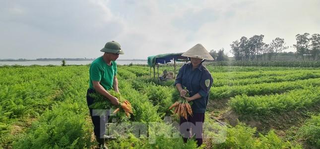 Rau ế ẩm, nông dân ngấn lệ đào bỏ làm thức ăn cho gia súc ảnh 4