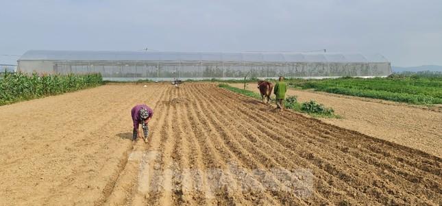Rau ế ẩm, nông dân ngấn lệ đào bỏ làm thức ăn cho gia súc ảnh 16