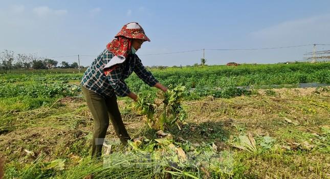 Rau ế ẩm, nông dân ngấn lệ đào bỏ làm thức ăn cho gia súc ảnh 14