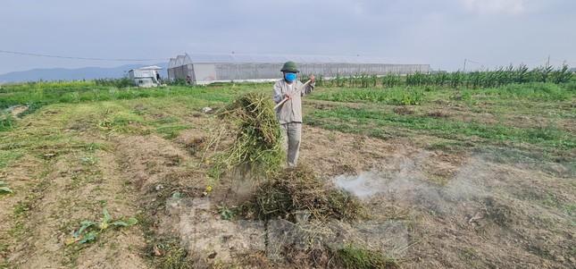 Rau ế ẩm, nông dân ngấn lệ đào bỏ làm thức ăn cho gia súc ảnh 15