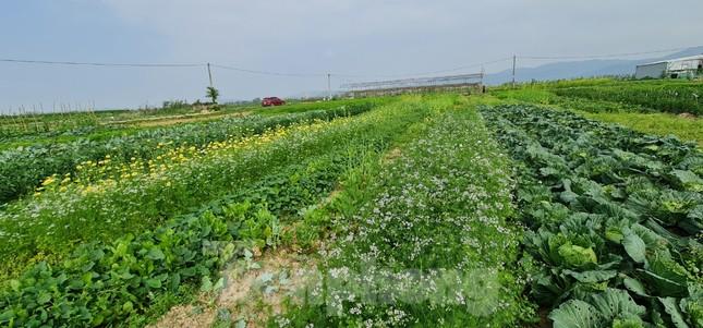 Rau ế ẩm, nông dân ngấn lệ đào bỏ làm thức ăn cho gia súc ảnh 1
