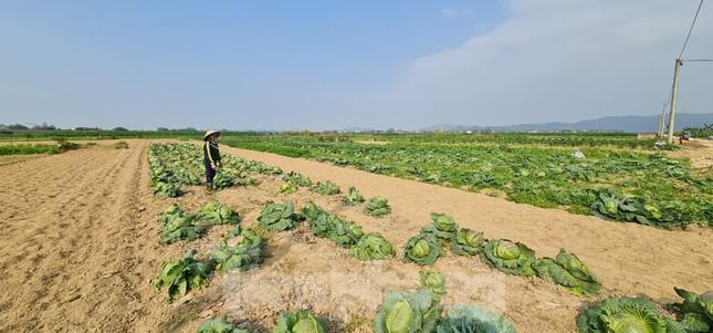 Rau ế ẩm, nông dân ngấn lệ đào bỏ làm thức ăn cho gia súc ảnh 3