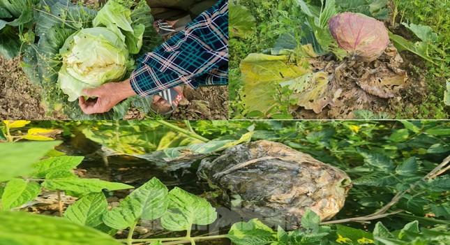 Rau ế ẩm, nông dân ngấn lệ đào bỏ làm thức ăn cho gia súc ảnh 6