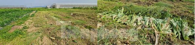Rau ế ẩm, nông dân ngấn lệ đào bỏ làm thức ăn cho gia súc ảnh 10