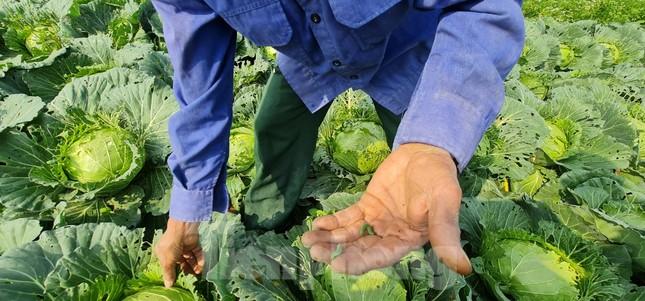 Rau ế ẩm, nông dân ngấn lệ đào bỏ làm thức ăn cho gia súc ảnh 8