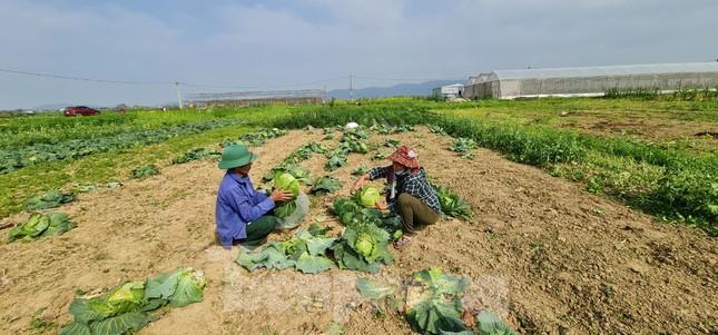 Rau ế ẩm, nông dân ngấn lệ đào bỏ làm thức ăn cho gia súc ảnh 5