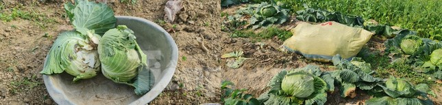 Rau ế ẩm, nông dân ngấn lệ đào bỏ làm thức ăn cho gia súc ảnh 11