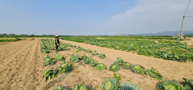 Nghệ An: Rau ế ẩm, nông dân mang về... cho bò ăn ảnh 2