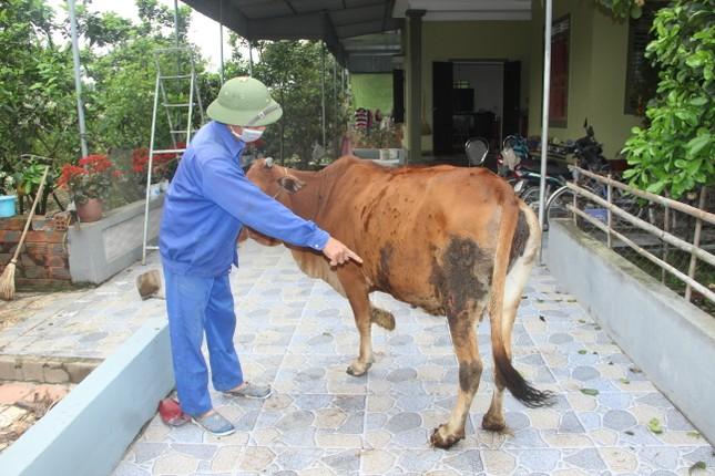 Xuất hiện dịch viêm da nổi cục trên gia súc tại Nghệ An ảnh 1