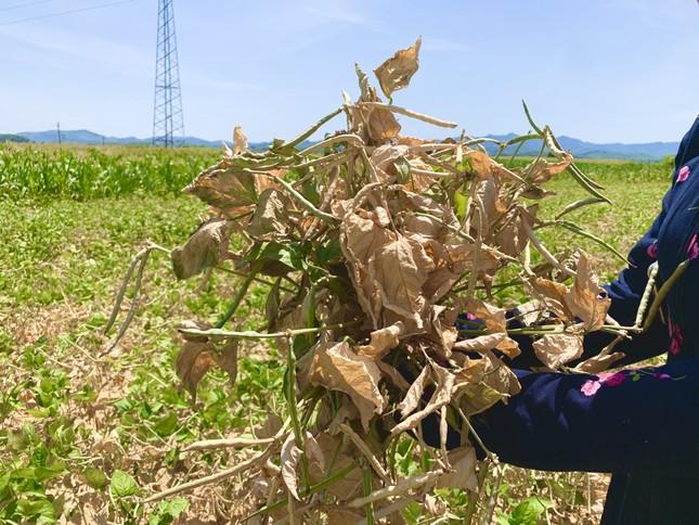 Dân vùng 'chảo lửa' méo mặt vì hàng ngàn ha hoa màu chết khô ảnh 4