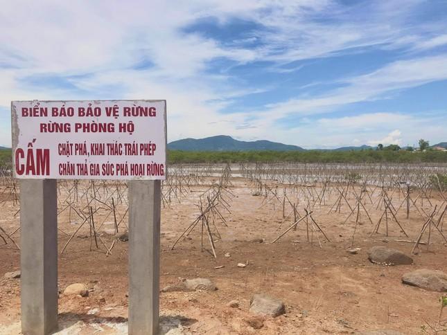 Rừng ngập mặn ở Hà Tĩnh vừa trồng đã chết trắng ảnh 13
