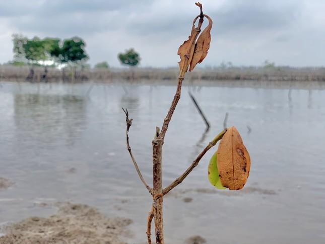 Rừng ngập mặn ở Hà Tĩnh vừa trồng đã chết trắng ảnh 5