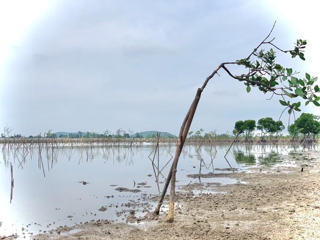 Rừng ngập mặn ở Hà Tĩnh vừa trồng đã chết trắng ảnh 8