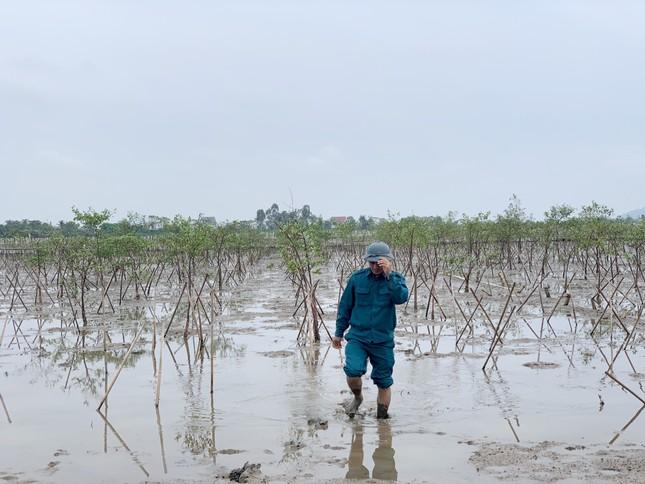 Rừng ngập mặn ở Hà Tĩnh vừa trồng đã chết trắng ảnh 7