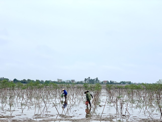 Rừng ngập mặn ở Hà Tĩnh vừa trồng đã chết trắng ảnh 1