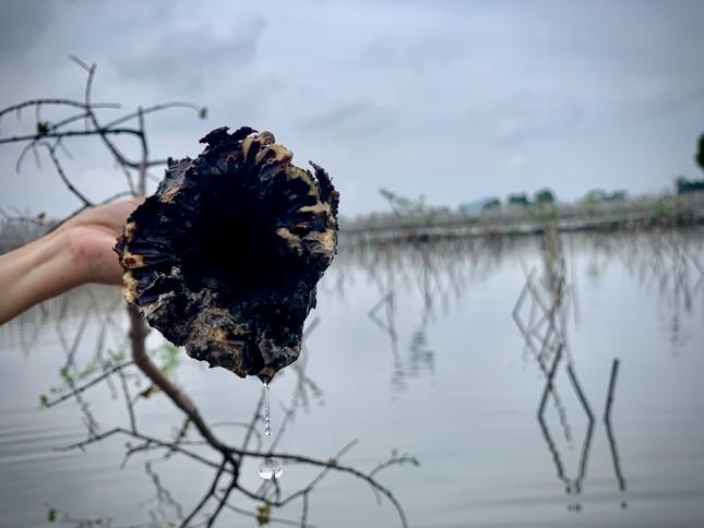 Rừng ngập mặn ở Hà Tĩnh vừa trồng đã chết trắng ảnh 3