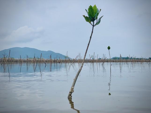 Rừng ngập mặn ở Hà Tĩnh vừa trồng đã chết trắng ảnh 4