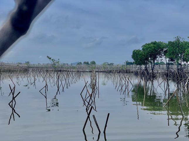 Rừng ngập mặn ở Hà Tĩnh vừa trồng đã chết trắng ảnh 2