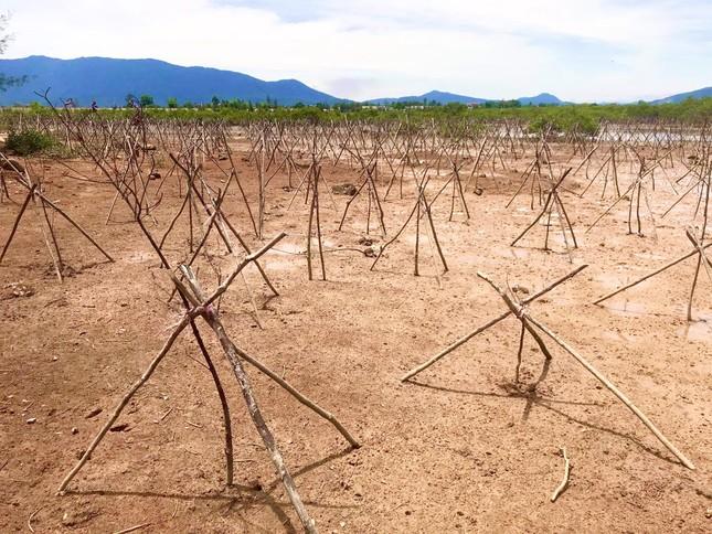 Rừng ngập mặn ở Hà Tĩnh vừa trồng đã chết trắng ảnh 11