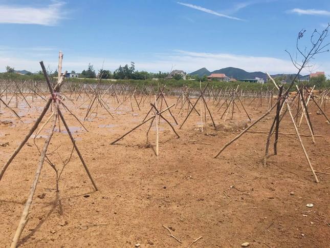 Rừng ngập mặn ở Hà Tĩnh vừa trồng đã chết trắng ảnh 12
