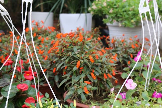 Rực rỡ sắc xuân ở làng hoa lớn nhất thành Vinh ảnh 8