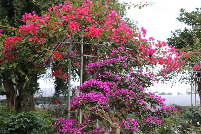 Rực rỡ sắc xuân ở làng hoa lớn nhất thành Vinh ảnh 2
