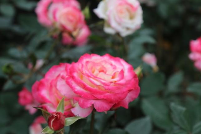 Rực rỡ sắc xuân ở làng hoa lớn nhất thành Vinh ảnh 6