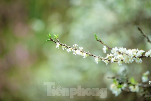 Thiếu nữ khoe sắc bên hoa mận nở trắng muốt nơi cổng trời đẹp như tranh ảnh 5