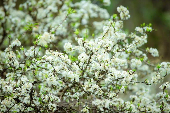 Thiếu nữ khoe sắc bên hoa mận nở trắng muốt nơi cổng trời đẹp như tranh ảnh 4