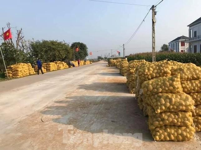Khoai tây được mùa được giá, nông dân Nghệ An phấn khởi thu hoạch ảnh 9