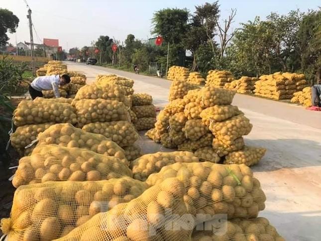 Khoai tây được mùa được giá, nông dân Nghệ An phấn khởi thu hoạch ảnh 8