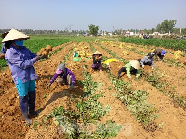Khoai tây được mùa được giá, nông dân Nghệ An phấn khởi thu hoạch ảnh 3