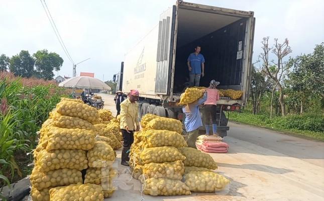 Khoai tây được mùa được giá, nông dân Nghệ An phấn khởi thu hoạch ảnh 7