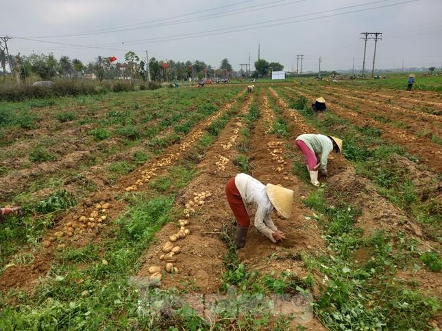 Khoai tây được mùa được giá, nông dân Nghệ An phấn khởi thu hoạch ảnh 2