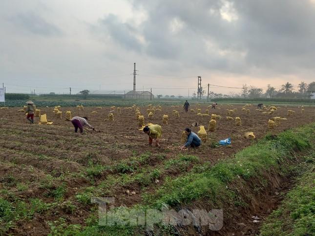 Khoai tây được mùa được giá, nông dân Nghệ An phấn khởi thu hoạch ảnh 1