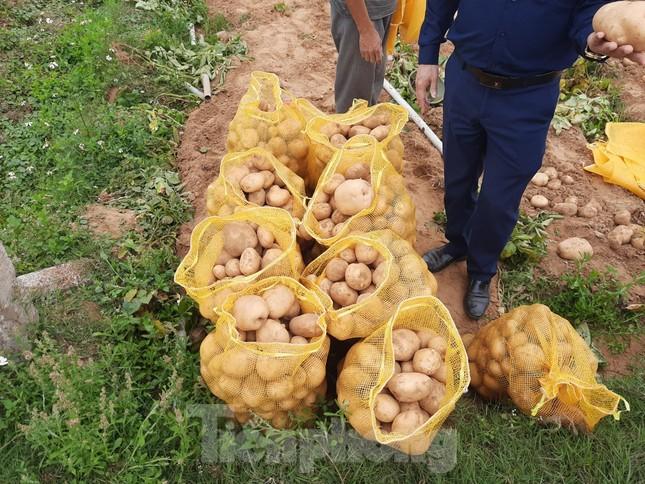 Khoai tây được mùa được giá, nông dân Nghệ An phấn khởi thu hoạch ảnh 4