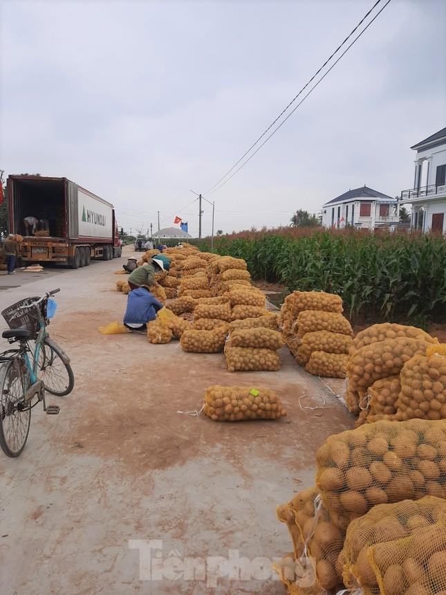 Khoai tây được mùa được giá, nông dân Nghệ An phấn khởi thu hoạch ảnh 10