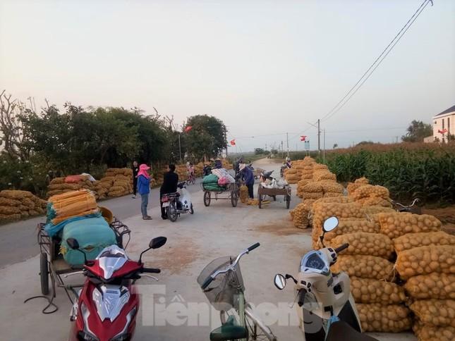 Khoai tây được mùa được giá, nông dân Nghệ An phấn khởi thu hoạch ảnh 5