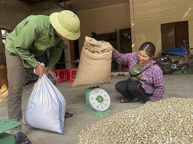 Giá chạm đáy, hàng trăm hecta hành ở Nghệ An chịu phận nằm ruộng ảnh 3