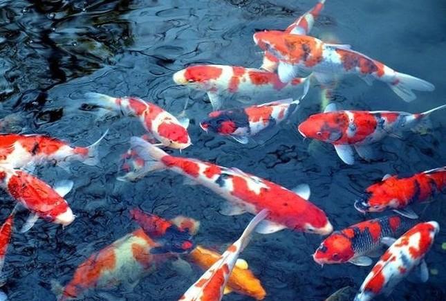 Sai lầm khi dùng cá Koi Nhật Bản cúng ông Công ông Táo thay cá chép ảnh 1