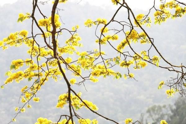 Mai vàng cổ thụ bung nở vàng ruộm trên đỉnh non thiêng Yên Tử ảnh 6