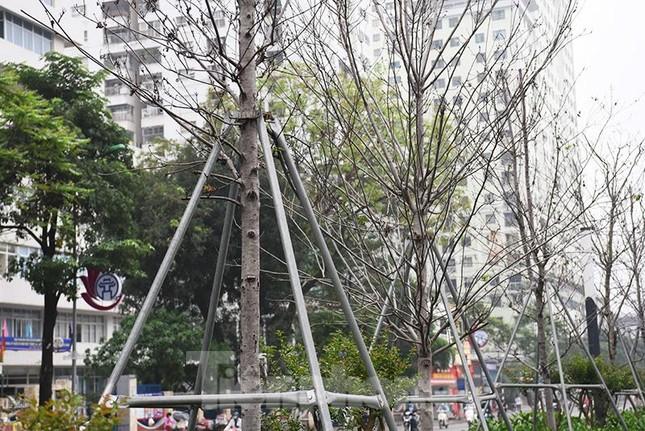 Cận cảnh hàng phong lá đỏ khô héo sắp bị thay thế ở Hà Nội ảnh 5