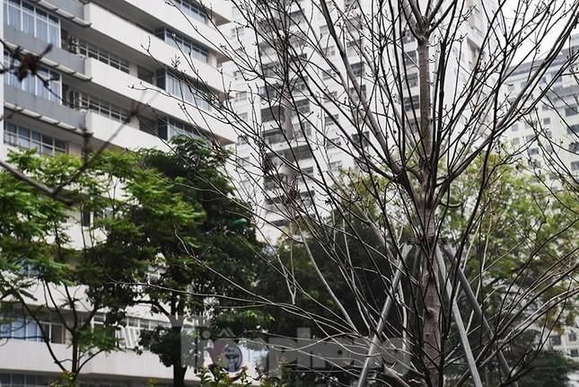 Cận cảnh hàng phong lá đỏ khô héo sắp bị thay thế ở Hà Nội ảnh 6