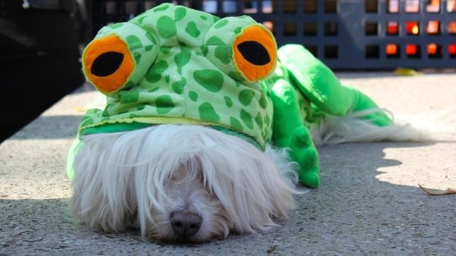 Cún cưng nô nức tham gia lễ hội Halloween ảnh 5