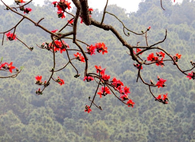 Hoa gạo Đồ Sơn hớp hồn du khách ảnh 13